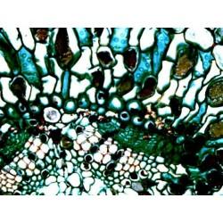 Mikroskopické preparáty - Biologie
