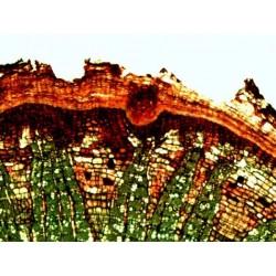 Mikroskopické preparáty - Vývoj a množení buněk